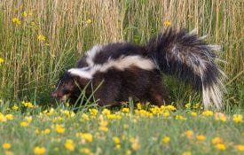 skunks in Alabama in spring flowers