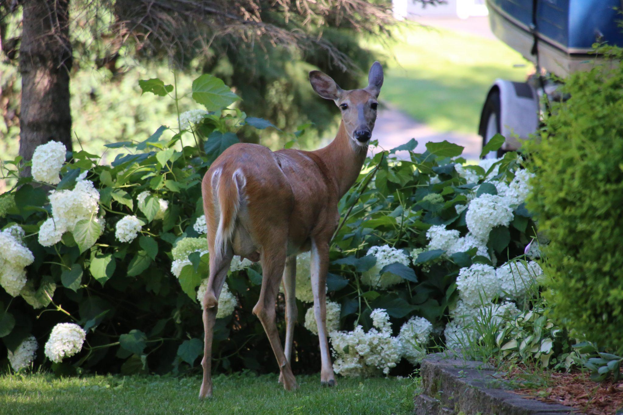 Deer in a backyard