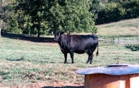 Angus beef cow with mineral feeder