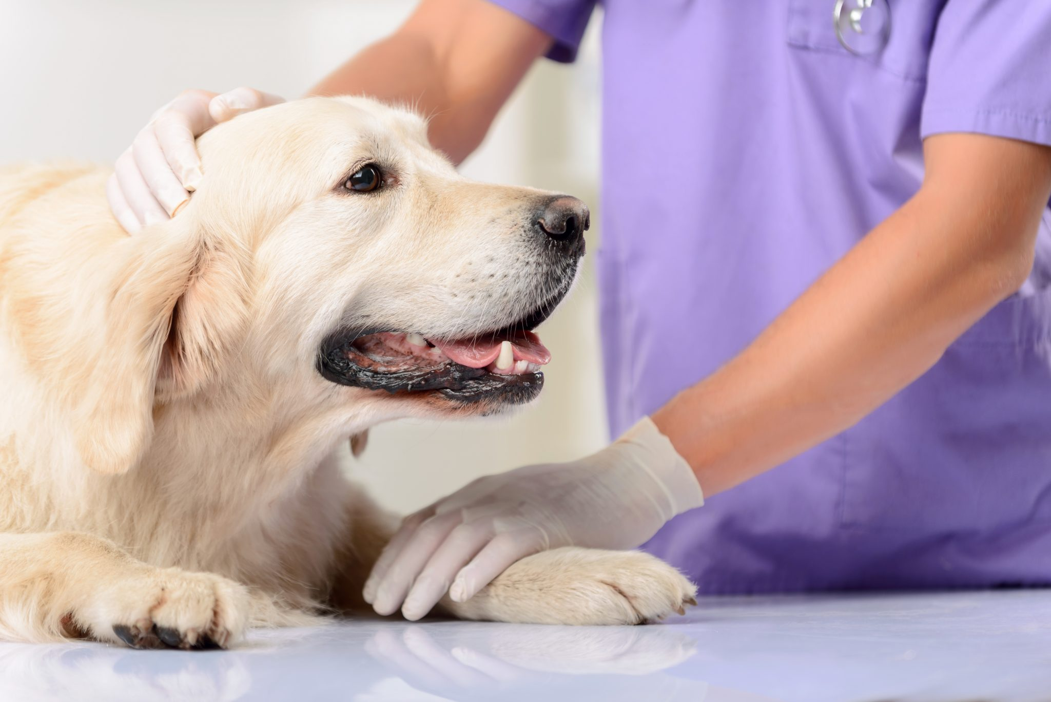 A dog laying on an examination table at the vet; importance of rabies vaccinations