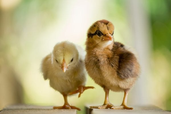 Two chicks standing on a table
