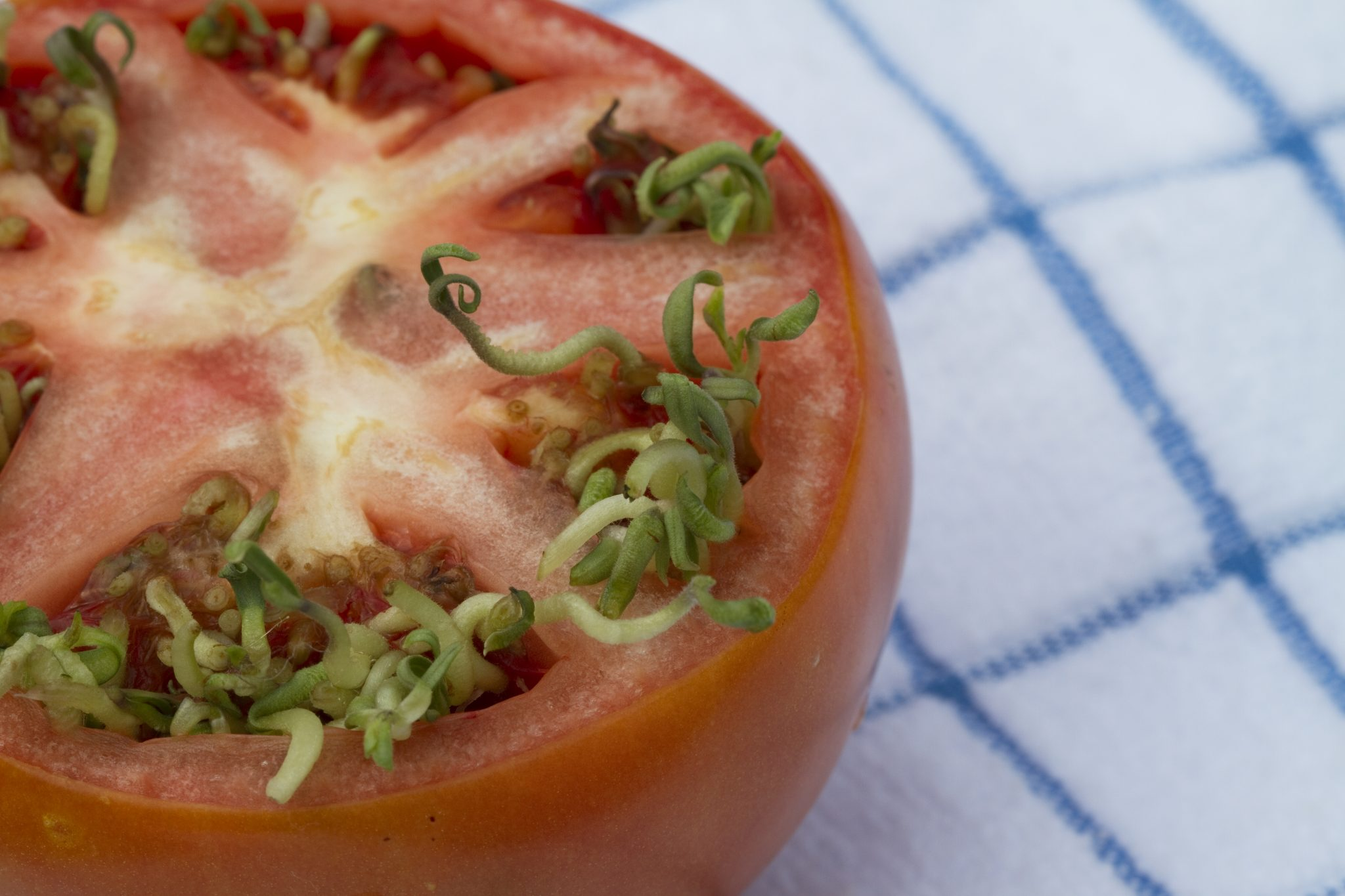 Vivipary in tomatoes