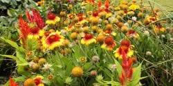 Gaillardia and other garden flowers