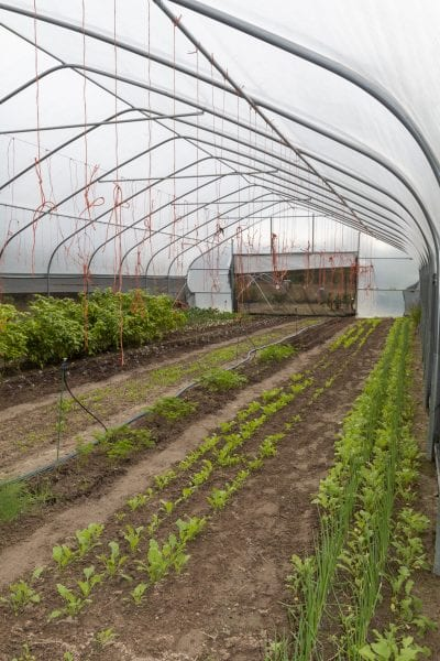 Inside of a high tunnel system with drip irrigation