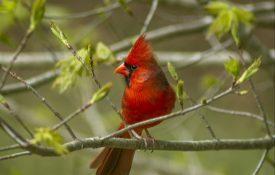 male cardinal, birding, bird identification
