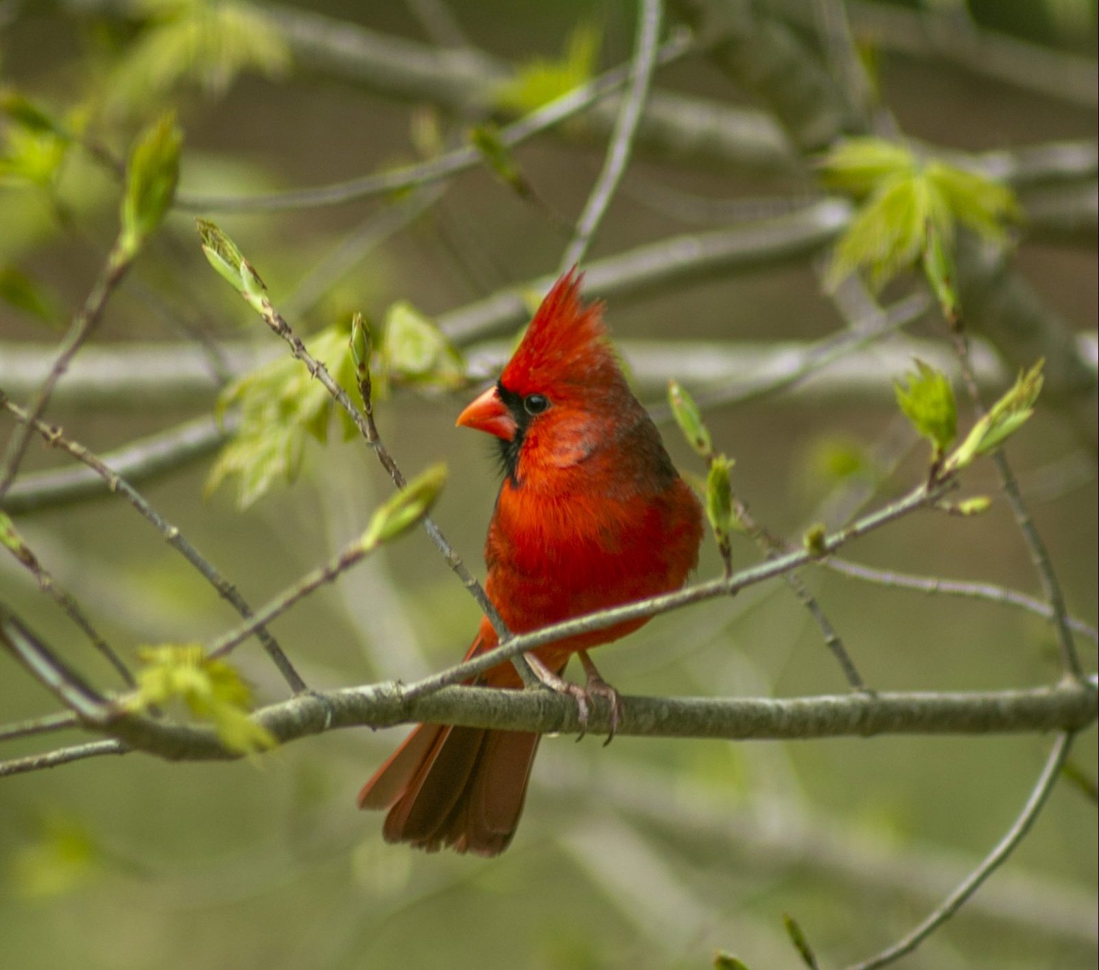 male cardinal, birding, bird identification