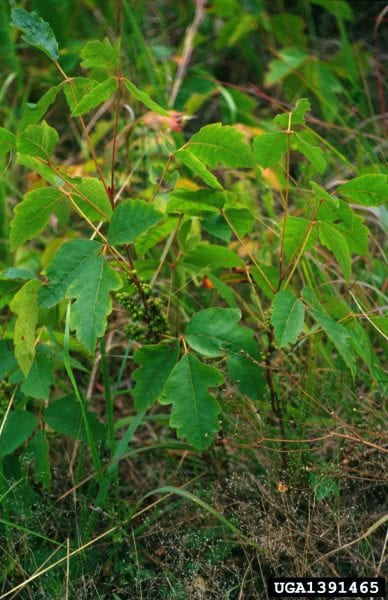 poison oak leaves