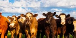 Young group of commercial cattle