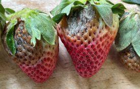 Gray Mold Strawberry