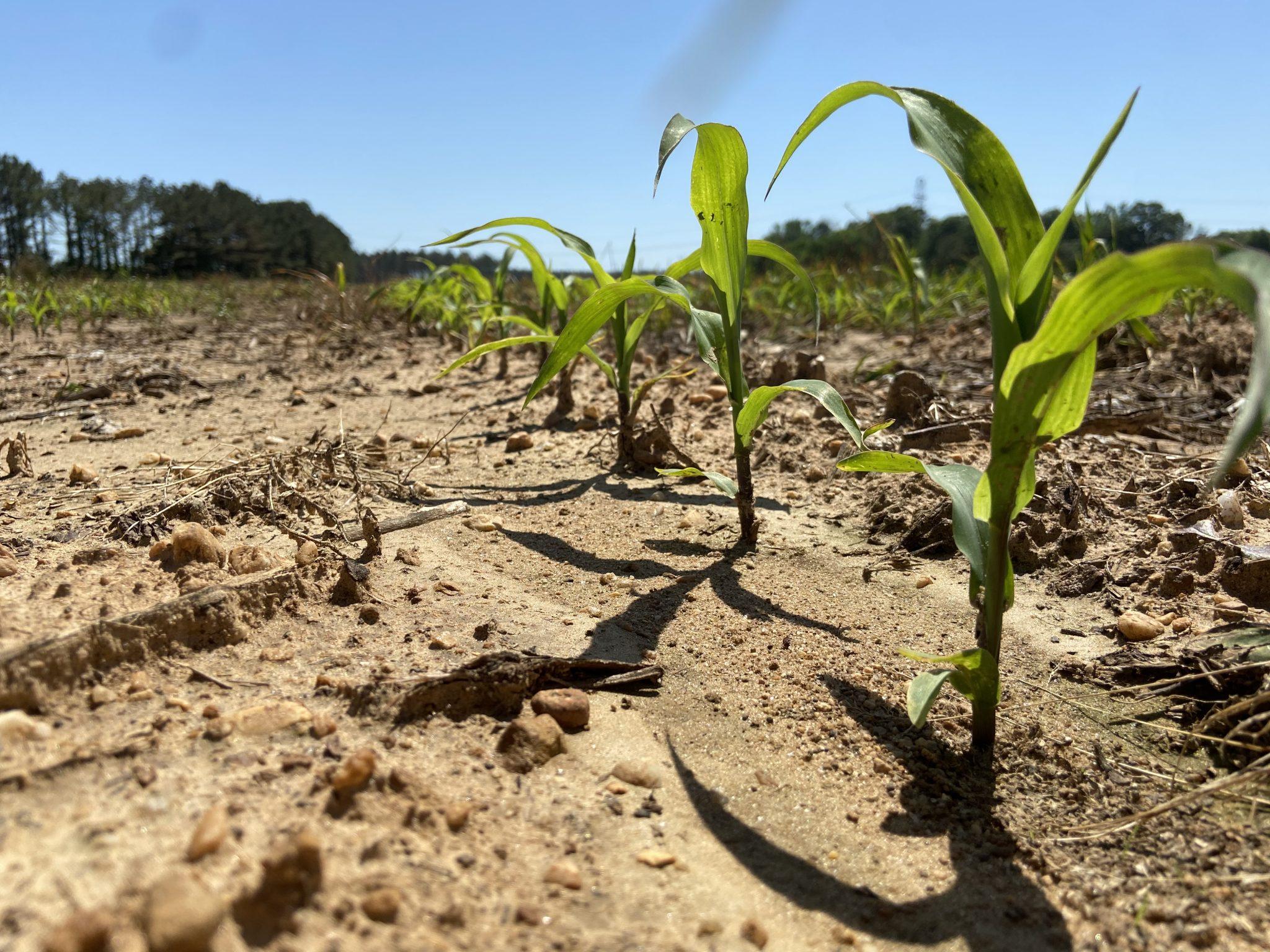 Corn emerging in a field.