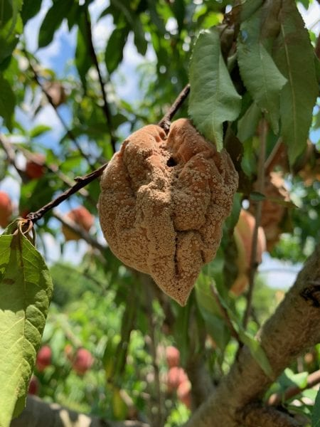 Disease damaged peach on a tree