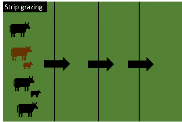 Strip grazing