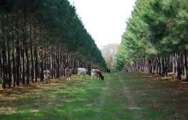 cattle grazing in Silvopasture systems