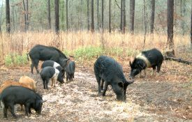 feral swine captured eating on a game camera.