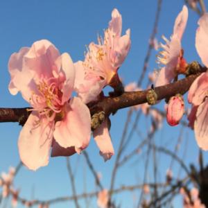 Figure 6. Full Bloom