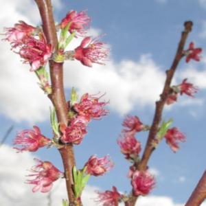 Figure 7. Post Bloom (Petal Fall)