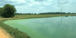 Figure 2. Cyanobacterial bloom on a catfish pond in Alabama. The bright green algae around the edges is typical of these blooms.