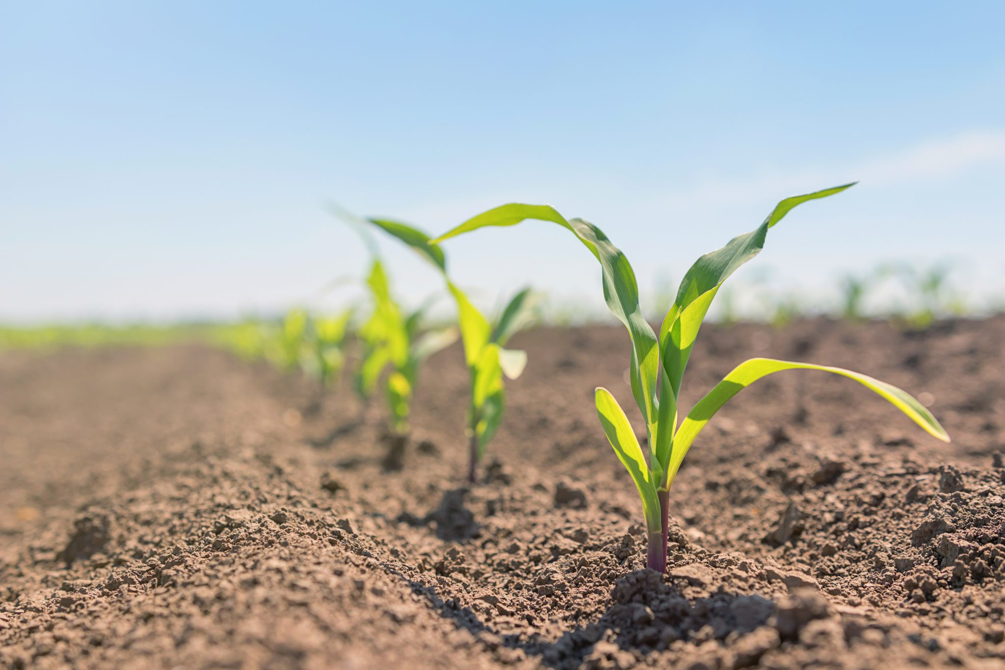 Young corn plants growing in a field