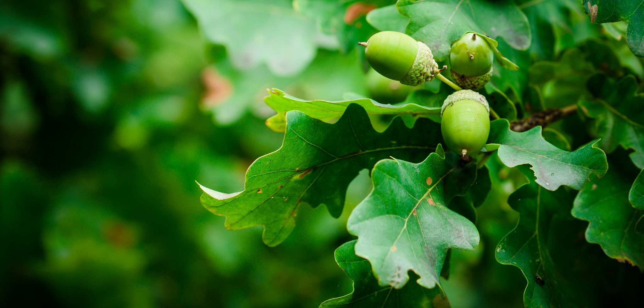 Oak trees with acorns