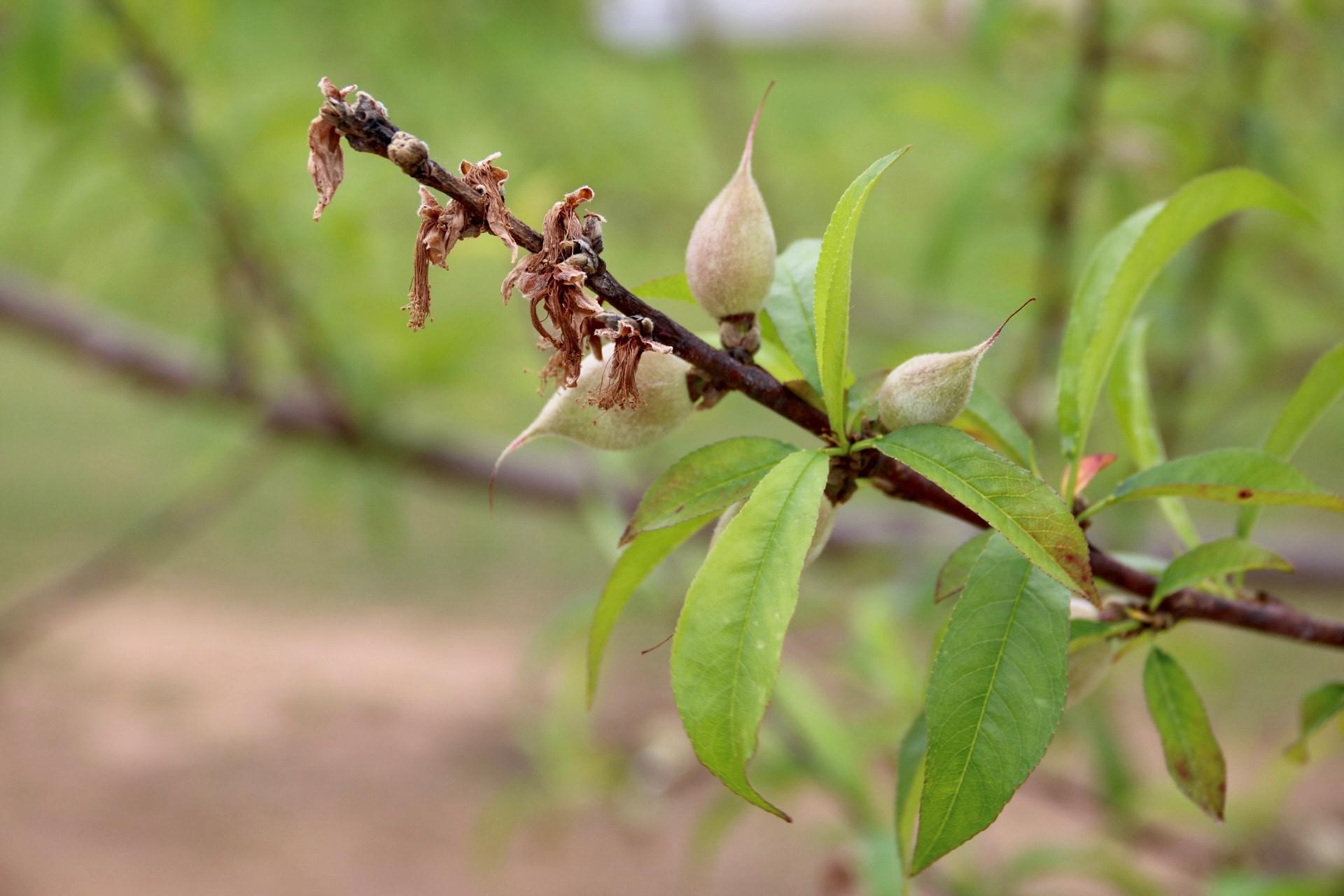 Twig die back on peach trees