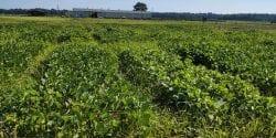 Soybean research plot