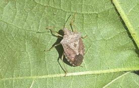 Figure 3. Adult brown stink bug