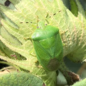 Figure 1. Adult green stink bug