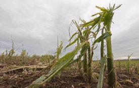 Damaged corn crops in the field