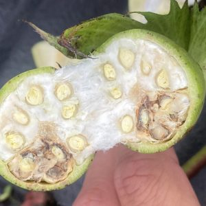 Figure 14. Cross section of lint and seed damaged by stink bugs
