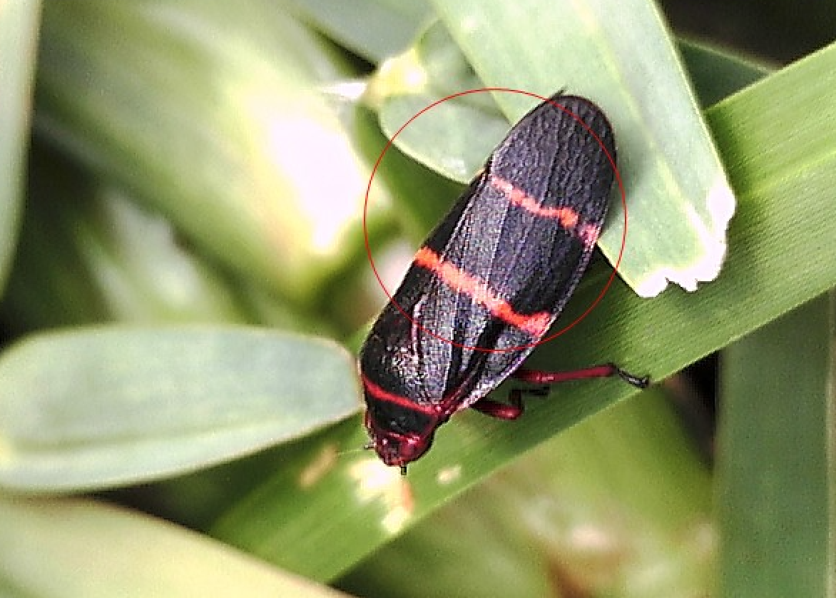 Two-lined spittlebug adult on St. Augustine grass.