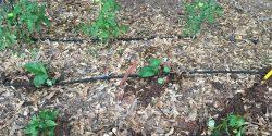 Soaker hose in a garden