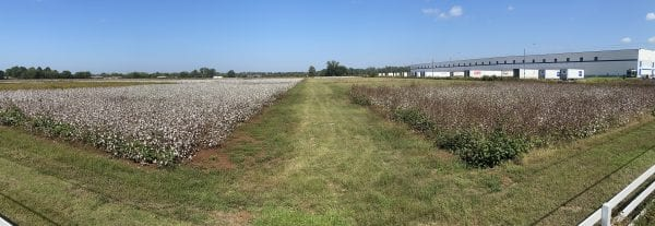 Figure 7. Effects of cotton managed for stink bugs (left) and not treated for stink bugs (right)