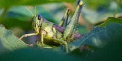 Grasshopper on cotton plant