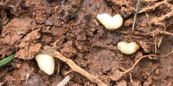 Figure 1. Billbugs in soil as legless white grubs found at the root zone.