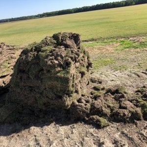 Figure 3. Sod heavily damaged from billbugs.