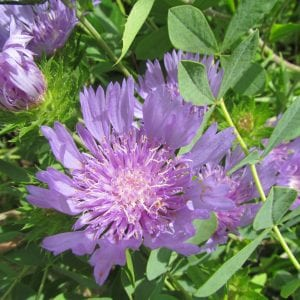 """Figure 33. Stokes' aster (Stokesia laevis); native, herbaceous perennial evergreen with bright purple flowers, 1 to 2 feet tall. (Photo credit: """"Stokes' aster NC Botantical Garden Chapel Hill 3361"""" by bobistraveling licensed under CC BY 2.0)"""