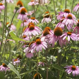 Figure 34. Purple coneflower (Echinacea purpurea); herbaceous perennial, 3 to 4 feet tall with pink-purple flowers that mature in early summer through mid-fall; pollinator attractor