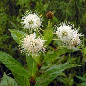 Figure 36. Buttonbush (Cephalanthus occidentalis); native, 6 × 6 feet, standard wetland; cut back to 1 foot each year in March or it will grow to be 12 feet; white flowers in summer, late to leaf in spring. (Photo credit: Gabriel Hurley licensed under CC BY-SA 3.0)