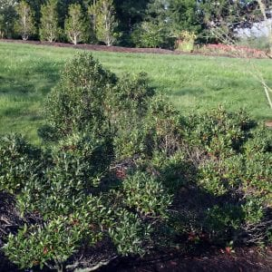 Figure 40. Inkberry (Ilex glabra); native, 4 to 5 feet × 3 to 4 feet evergreen bush; quick draining; 'Shamrock' cultivar is small and nice for borders. (Photo credit: David Stang licensed under CC BY-SA 4.0)