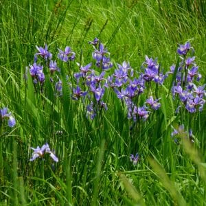 Figure 41. Blue flag iris (Iris virginica); native, 2 to 3 feet tall; standard or wetland. Note: Do not plant yellow flag iris; it's not a native plant and is potentially invasive. (Photo credit: Rusty Clark licensed under CC BY 2.0)