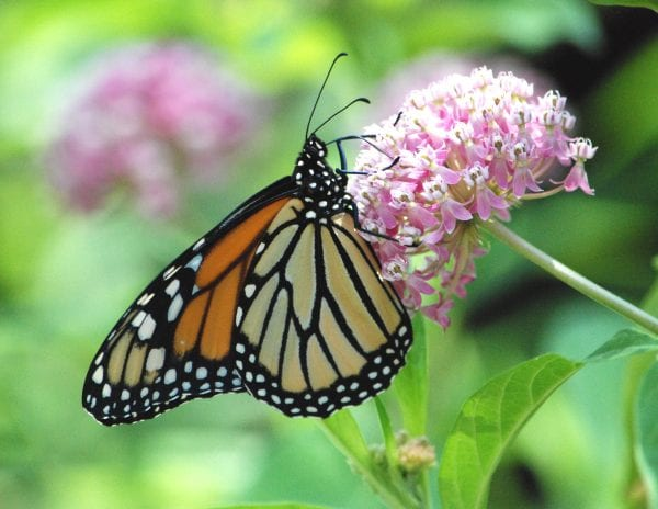 Figure 42. Swamp milkweed (Asclepias incarnata); native, 3 to 4 feet tall and wide; flowers in spring and early summer with pink or white flowers; full sun to partial shade, standard and wetland; attracts many pollinators. (Photo credit: U S Forestry and Wildlife Service Midwest Region)
