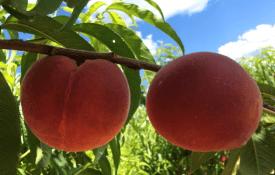 SC-2 peaches developed at Clemson University