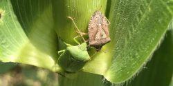 Stink bugs on corn
