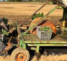 Figure 3. Planting plug strawberry plants using a wheel designed to form holes through the plastic mulch.