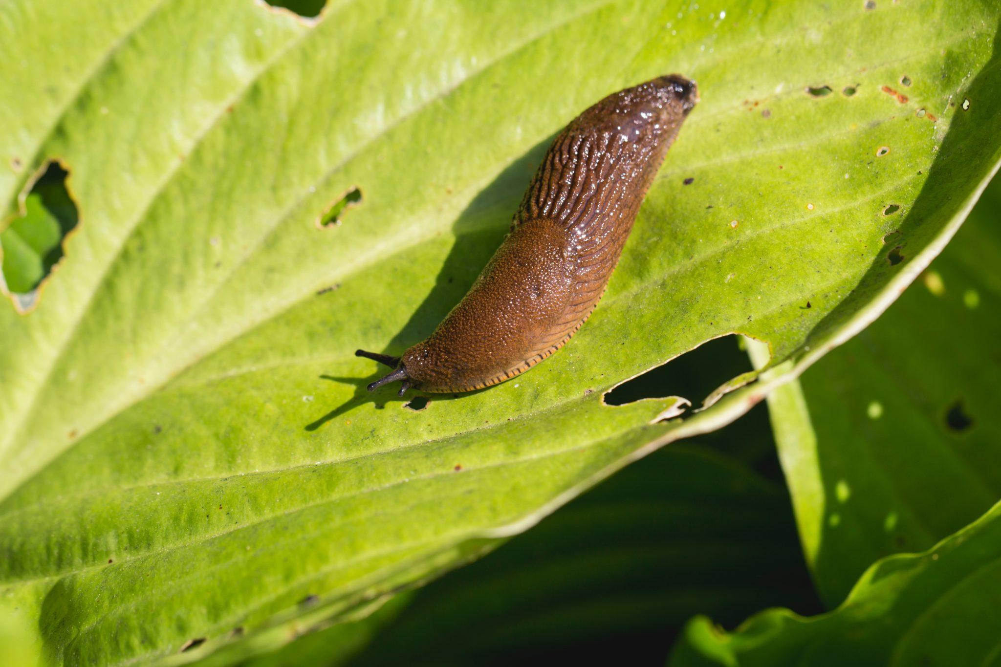 Slugs on vegetables