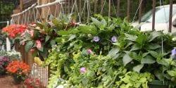 hanging flower baskets; consumer horticulture