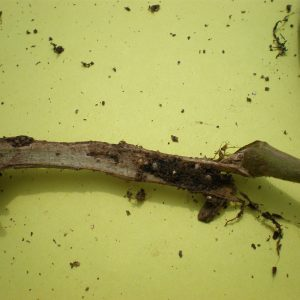 Figure 6. Tomato stem attacked by eastern subterranean termites