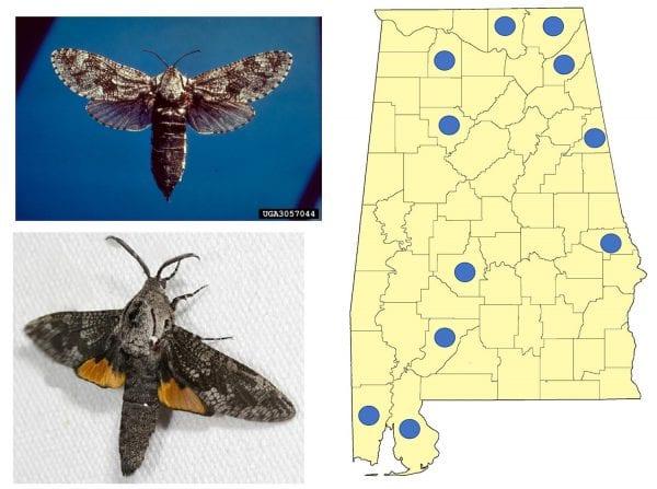 Figure 1. Carpenterworm female moth (left upper) and male moth (left lower). (Photo credits: female moth, James Solomon, USDA Forest Service, Bugwood.org; male moth, Nolie Schneider, North American Moth Photographers Group)