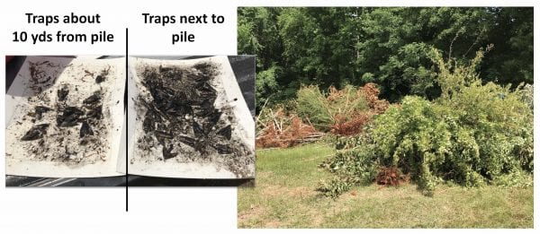 Figure 4. Dead or unmarketable trees piled in the nursery can be a source of new carpenterworm moths.