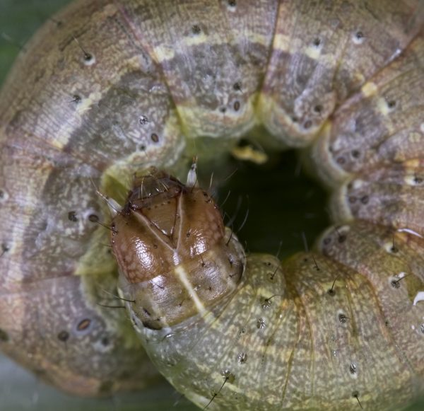 Figure 1. Fall armyworm head capsule.